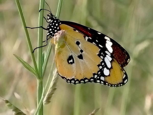 Butterfly Pimp by koficlips