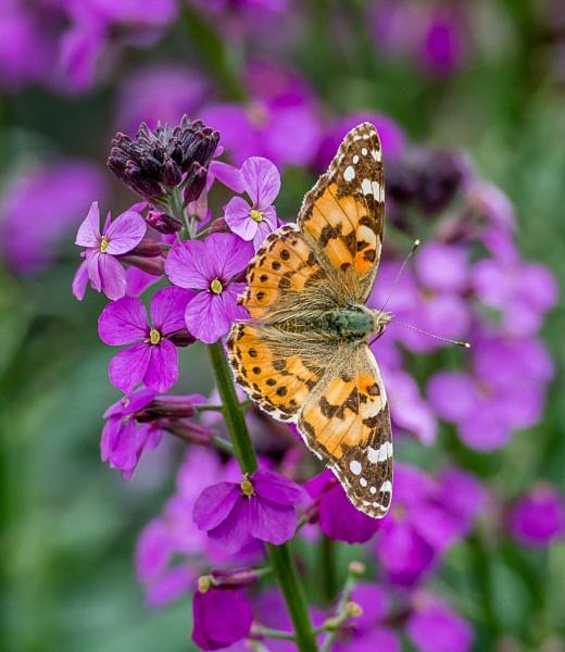 Butterfly by Stevefz
