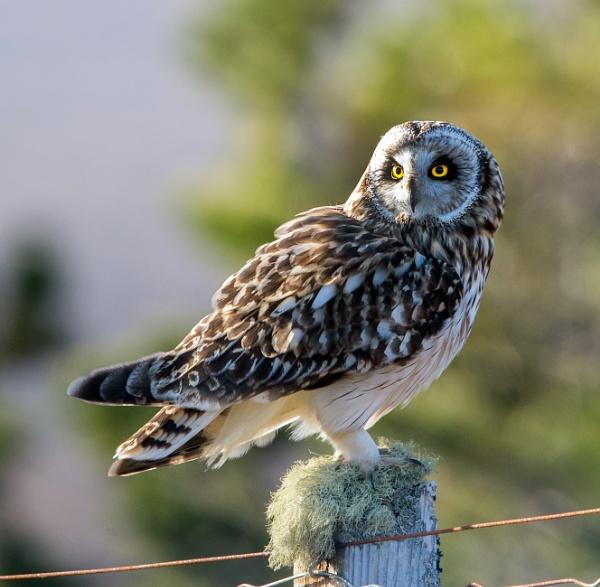 Short Eared Owl by hasslebladuk