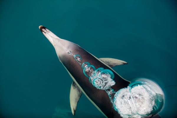 Dolphin by bobbyl