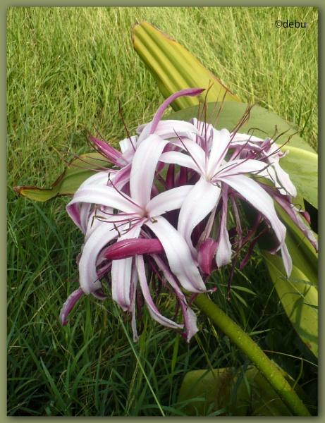 Iris cristata by debu