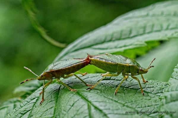 Shield Bugs by Alan_Baseley
