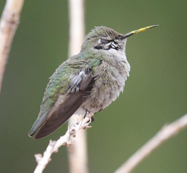 Hummingbird by SueSelley