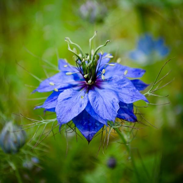 Nigella by chavender