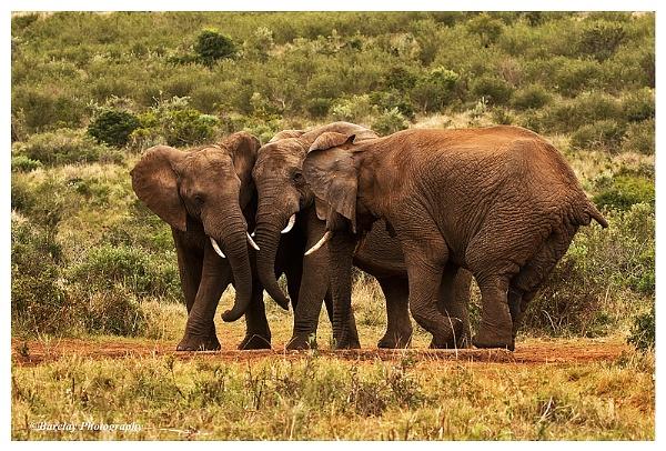 Elephants gossip by fatfranksfolley