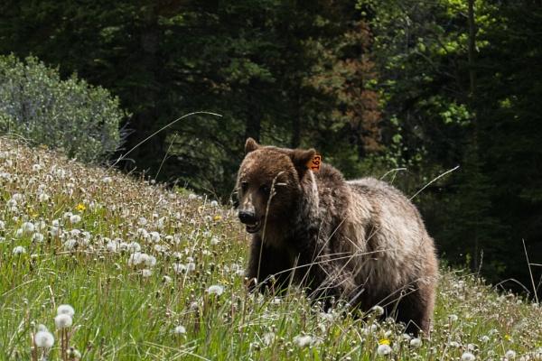 Grizzly 163 by StrayCat