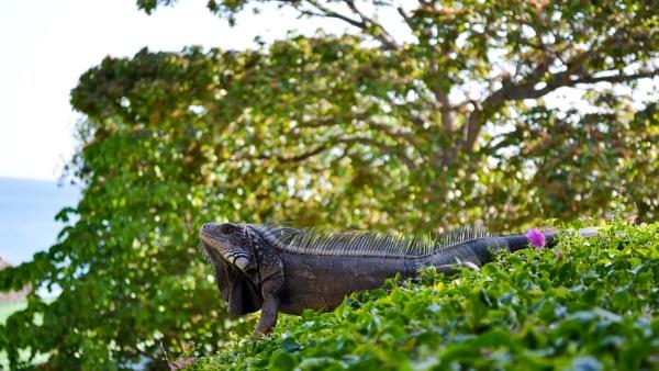 Iguana by shakeyhands
