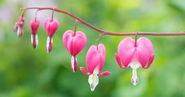 Bleeding hearts by Danny1970