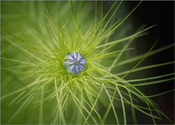 Love  in a Mist Coming..... by taggart