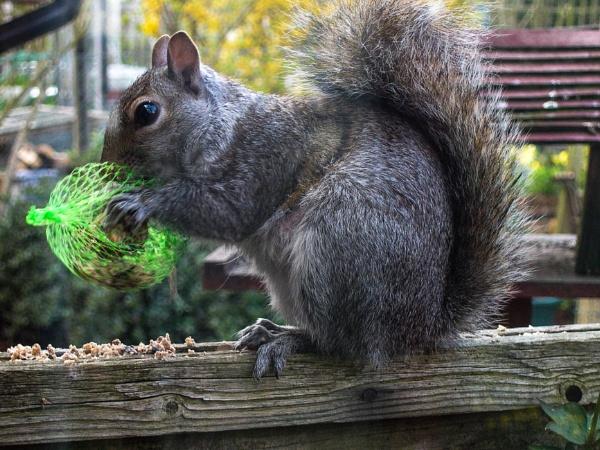 Squirrel on the fence by eddiemat