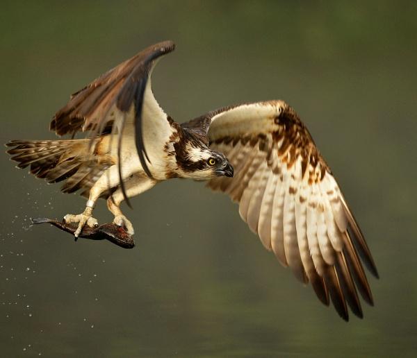 Osprey with fish by RomanyBill