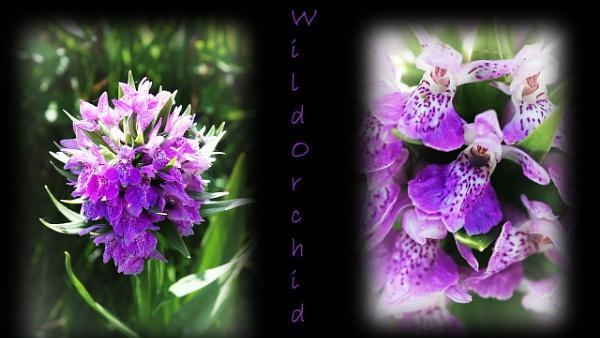 Wild Orchid by IreneClarke