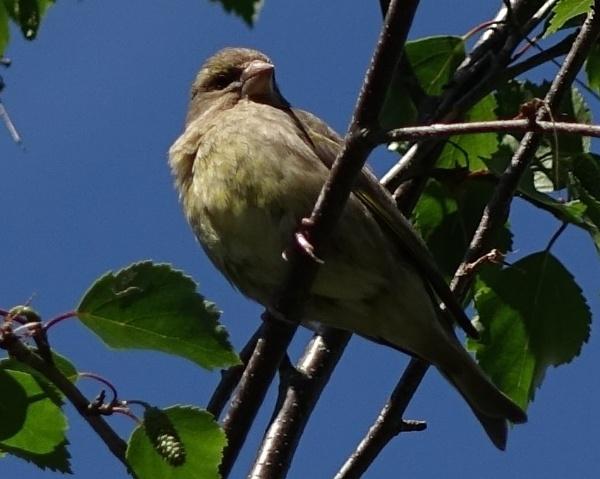 Birdy in the Birch tree by frogs123