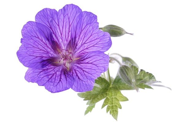 Geranium 3 by cattyal