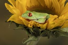 Sunflower frog