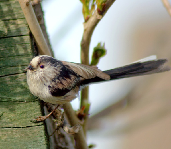 long tail tit by mickr