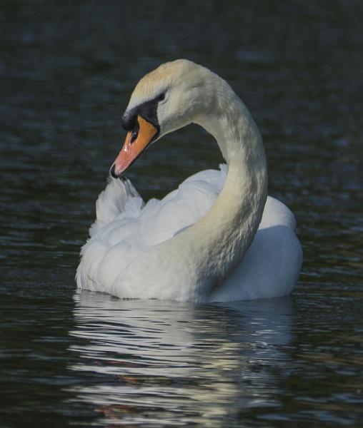 Sun Up Swan by chensuriashi
