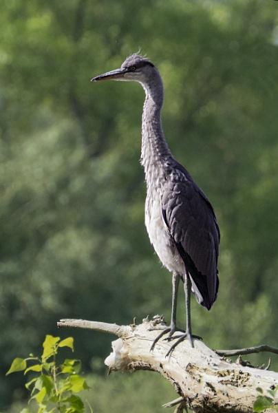 Tall Heron by chensuriashi