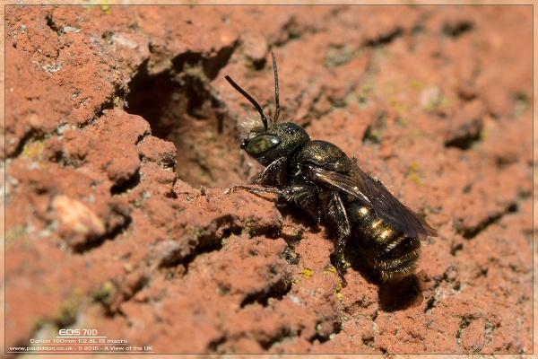 Beautiful Mason Bee by Paul_Iddon