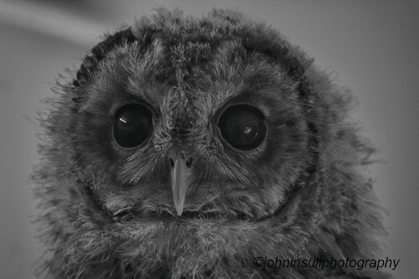 Young Tawny Owl. by JohnI