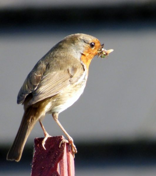 Robin has his dinner