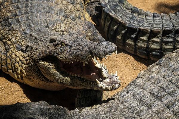 Nile Crocodile (Crocodylus niloticus) at the Bioparc Fuengirola by Phil_Bird