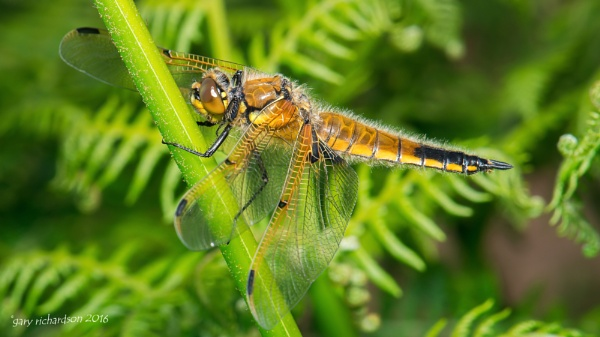 four spotted chaser by djgaryrichardson