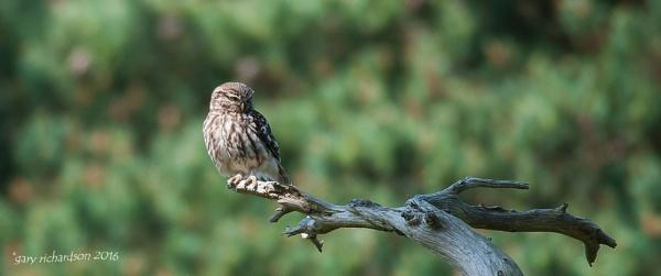 little owl by djgaryrichardson