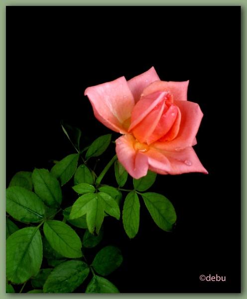 Rose in my garden by debu