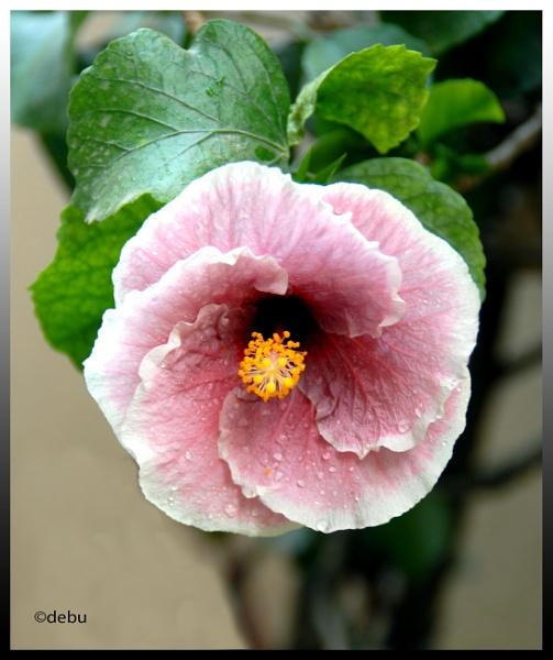 Hibiscus... by debu
