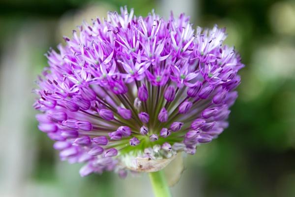 Allium? by blueninjasix