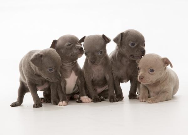 Chihuahua Puppies by MossyOak