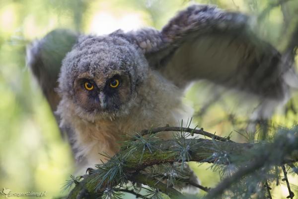 Long-eared Owl by zimen