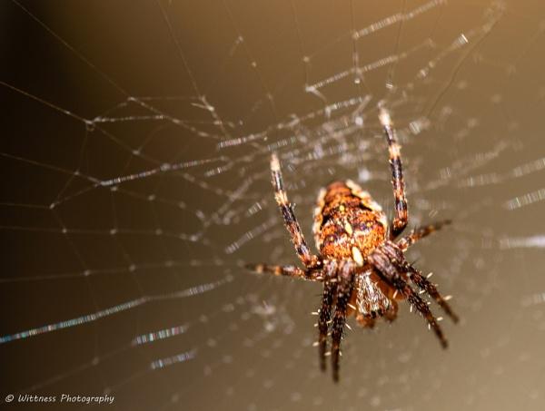 venomous spider by phonocar