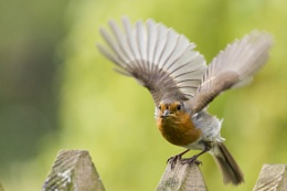 Robin taking flight