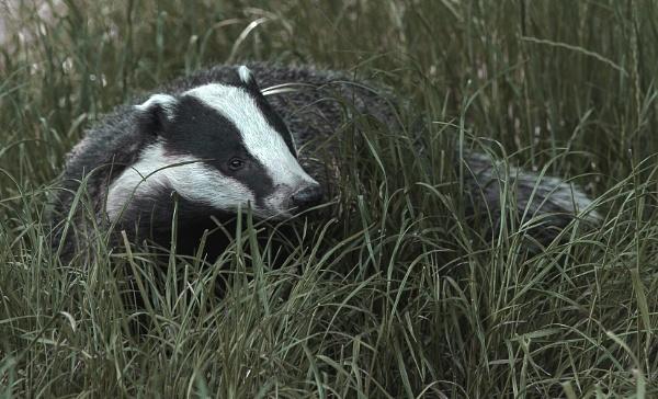 Badger by 10delboy