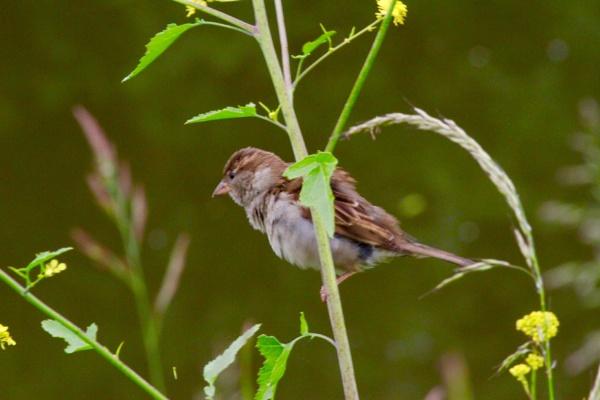 Hedge sparrow by Lencollard