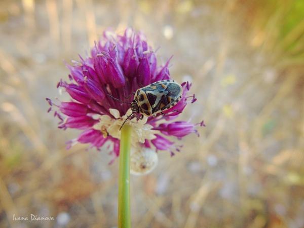 Ornate Shield Bug (Eurydema ornata) by idiabb