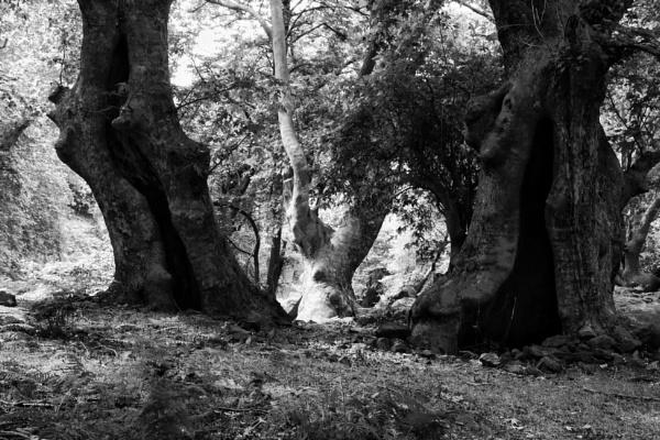 Fangorn forest by jocas