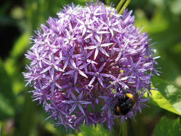 Allium by effers