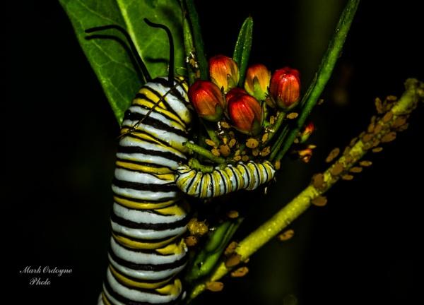 Monarch Caterpiller by mordoyne