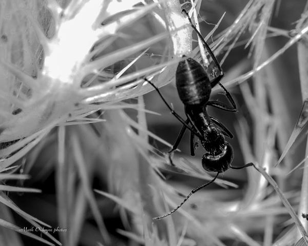 Black Ant by mordoyne