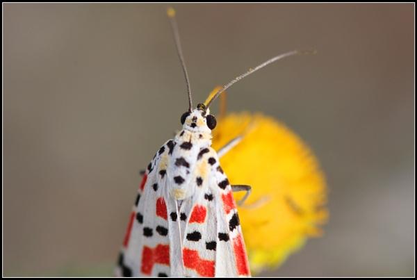 Crimson-speckled Flunkey by abuanas