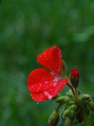 Geranium ...