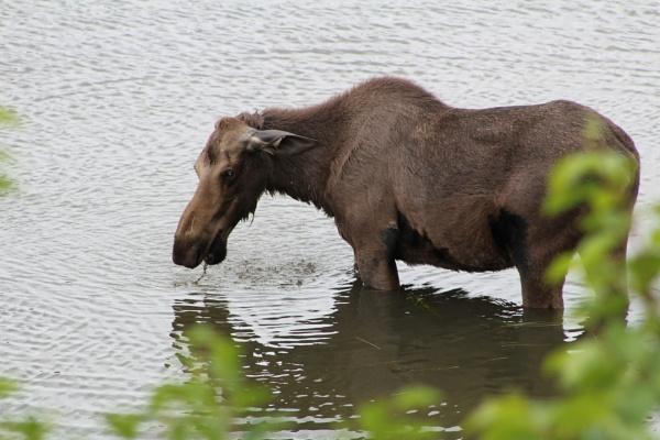 Moose in a marsh by Hotshots57