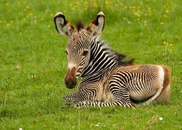 Grevy`s Zebra Foal by martin174