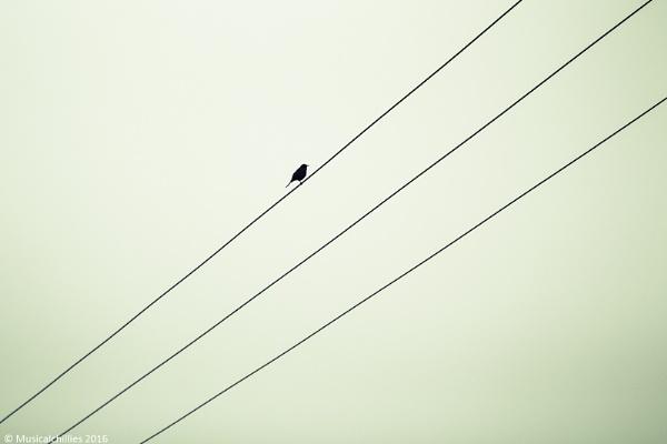 Bird On Wire by MusicalChillies
