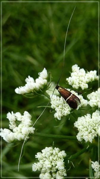fairy longhorn moth by CarolG