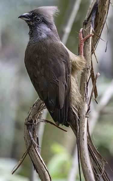 Speckled Mousebird by Bravdo