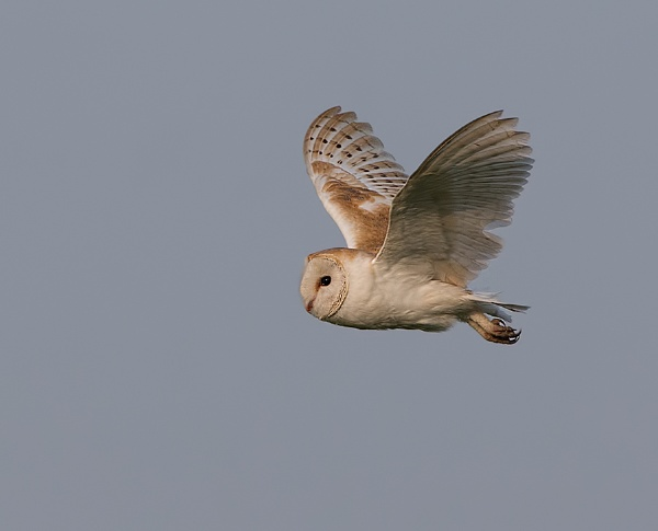 Barn Owl by targetman